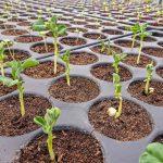 Jungpflanzen im Garten des Burtschützer Hofs