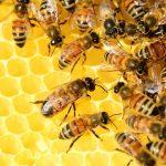 Honig Bienen
