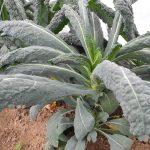 Palmkohl-Pflanze