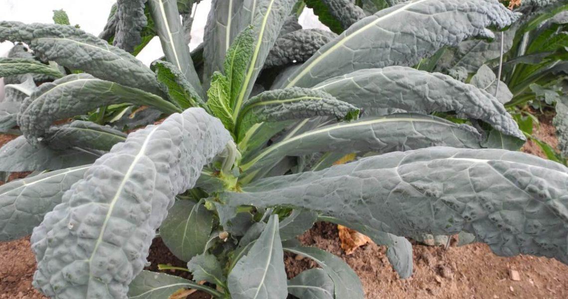 Palmkohl Pflanze