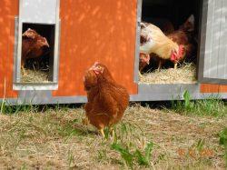 Unsere Hühner auf dem Hof
