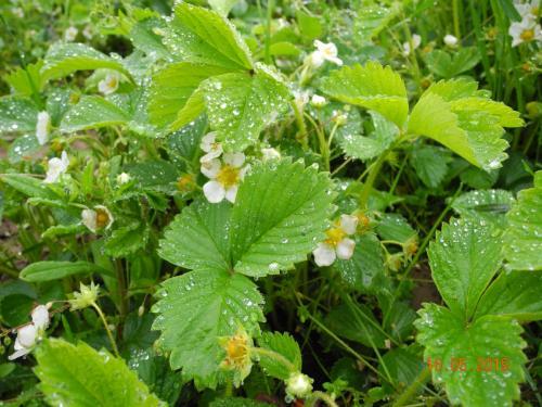 Blühende Erdbeerpflanzen